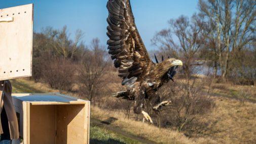 Samica orła bielika odzyskała wolność