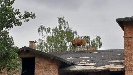 Krowa weszła na dach. Interweniowali strażacy