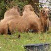Do wielbłąda na sygnale
